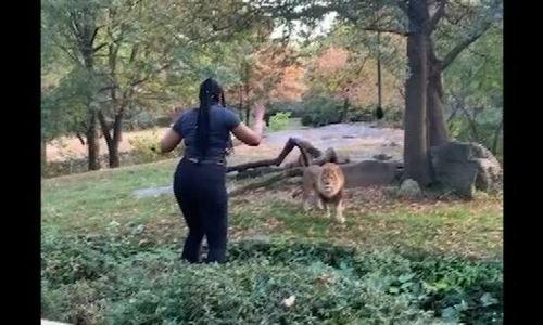 Cô gái vướng lao lý vì đột nhập chuồng sư tử - ảnh 1