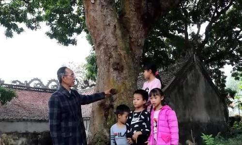 Cả cánh rừng lim xanh cổ thụ Hải Phòng xót lại 2 cây