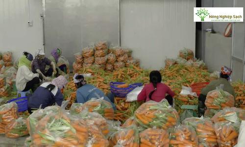 Kỹ thuật trồng và thu hoạch cà rốt
