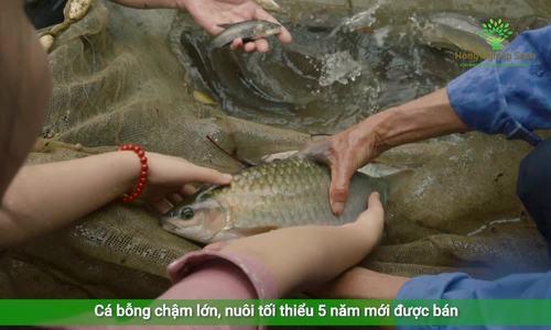 Kỹ thuật nuôi cá bỗng