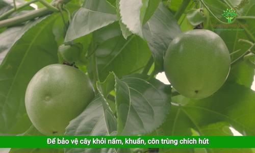 Chanh leo Mộc Châu
