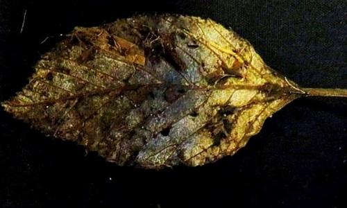 Chiếc lá nguyên vẹn sau 6.000 năm dưới than bùn