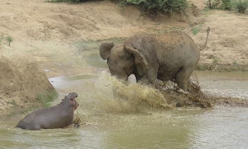 Hà mã đối đầu voi dữ để cứu con