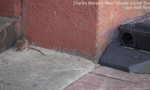 Chuột tung hoành trên đường phố Mỹ.