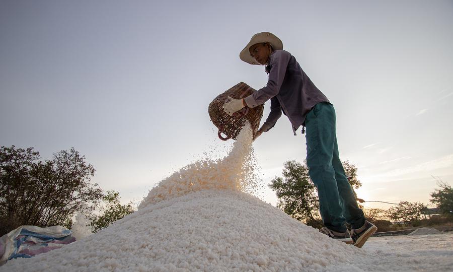 Thu hoạch muối ở Bạc Liêu