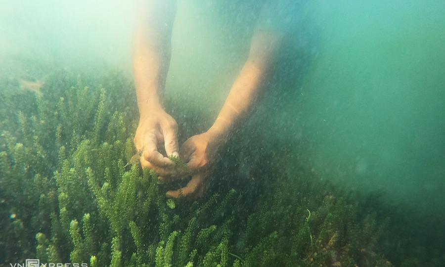 Người dân lặn ngụp dưới biển thu hoạch rong nho