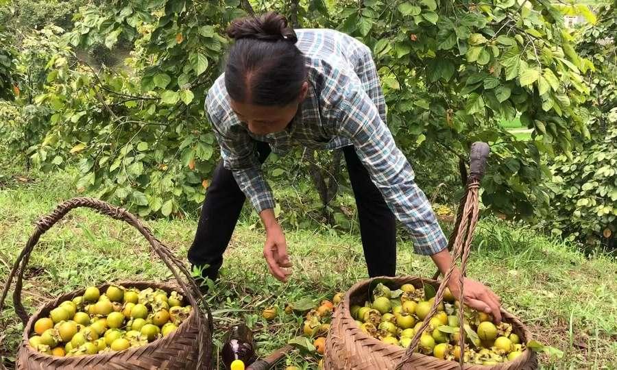 Thu hoạch hồng Vành khuyên ở biên giới Lạng Sơn