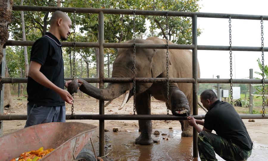 Chăm sóc voi hoang dã sa bẫy