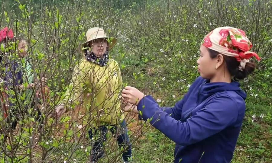 Video nông dân thất thu vì đào nở sớm