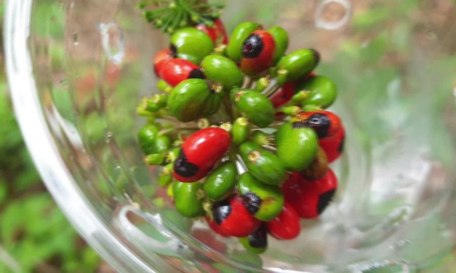 Thu hoạch hạt sâm Ngọc Linh ươm giống