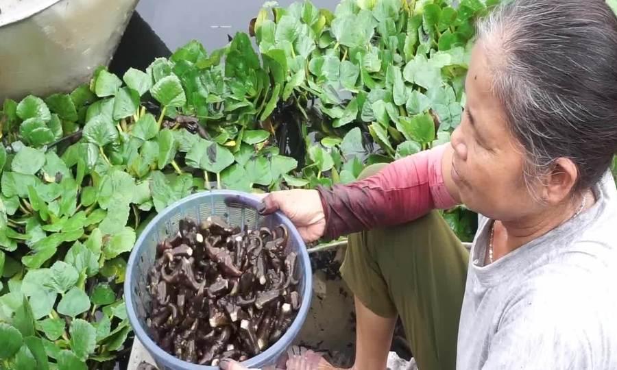 Nông dân xứ Thanh vào vụ thu hoạch củ ấu
