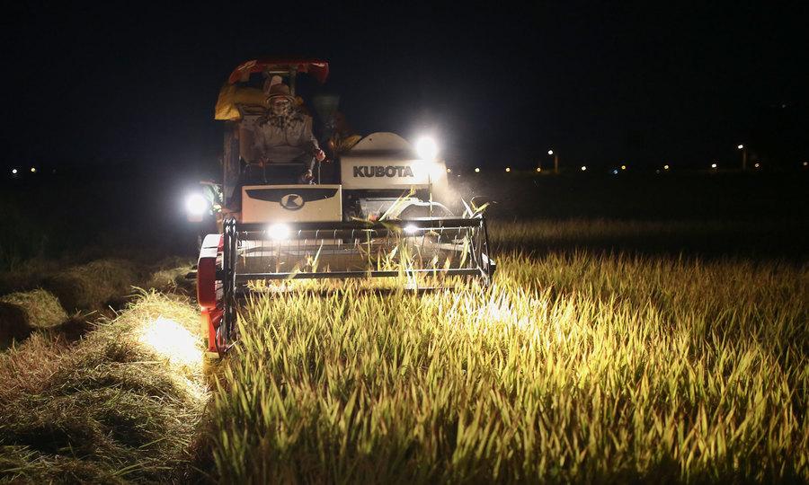 Gặt lúa đêm khi thành phố cách ly