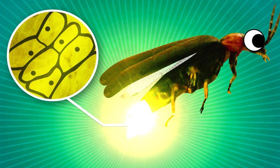 Có gì bên trong cơ quan phát sáng của đom đóm?