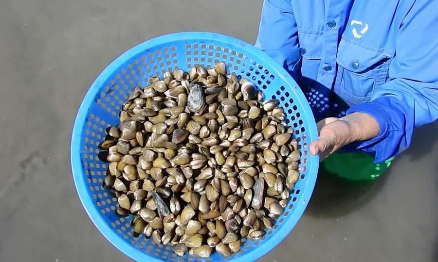 Vi deo Nghề cào don ở bãi triều Quảng Ninh