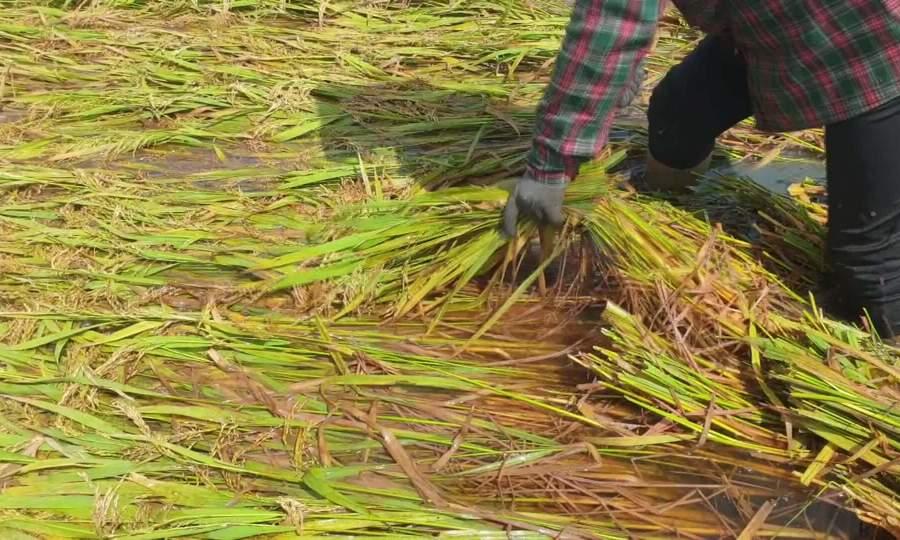 Nông dân gặt lúa mọc mầm cho gia cầm, gia súc ăn
